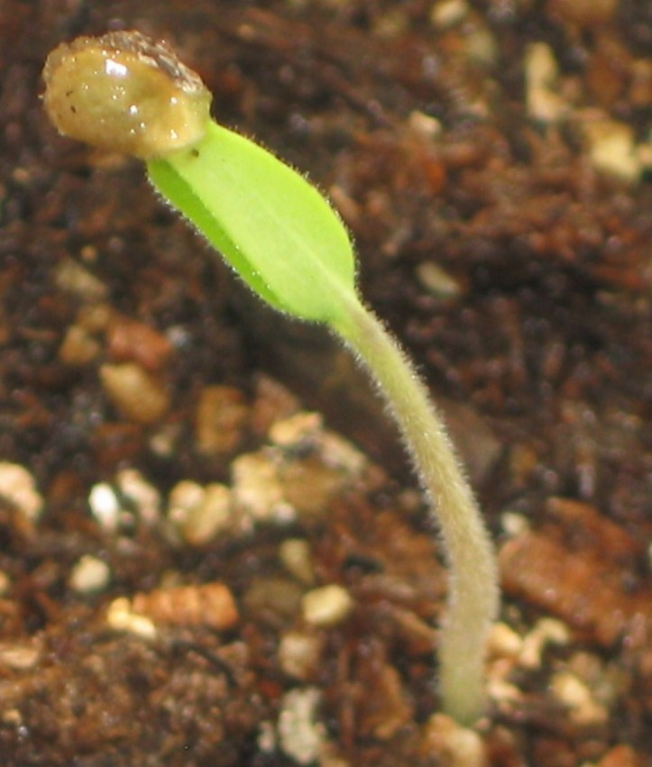 Purple Cherokee Heirloom Seedling 2 Days