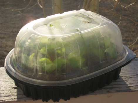 Reusing Plastic Chicken And Salad Containers For Gardens