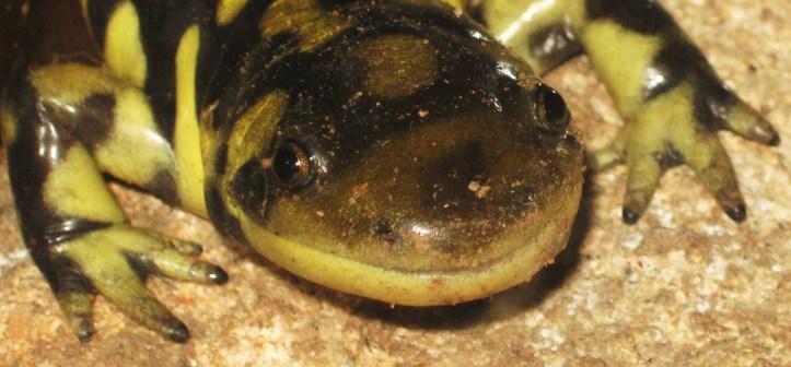 Smiling Salamandar