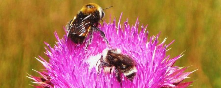cropped-thistle-and-bees1.jpg